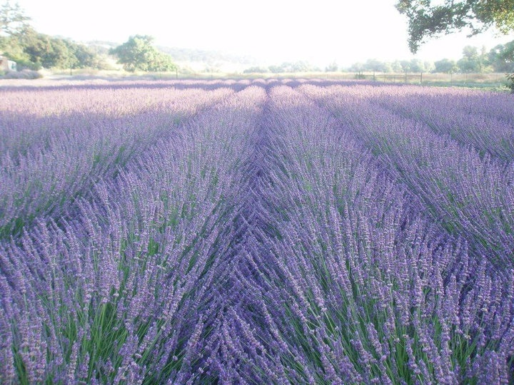 Central Coast Lavender