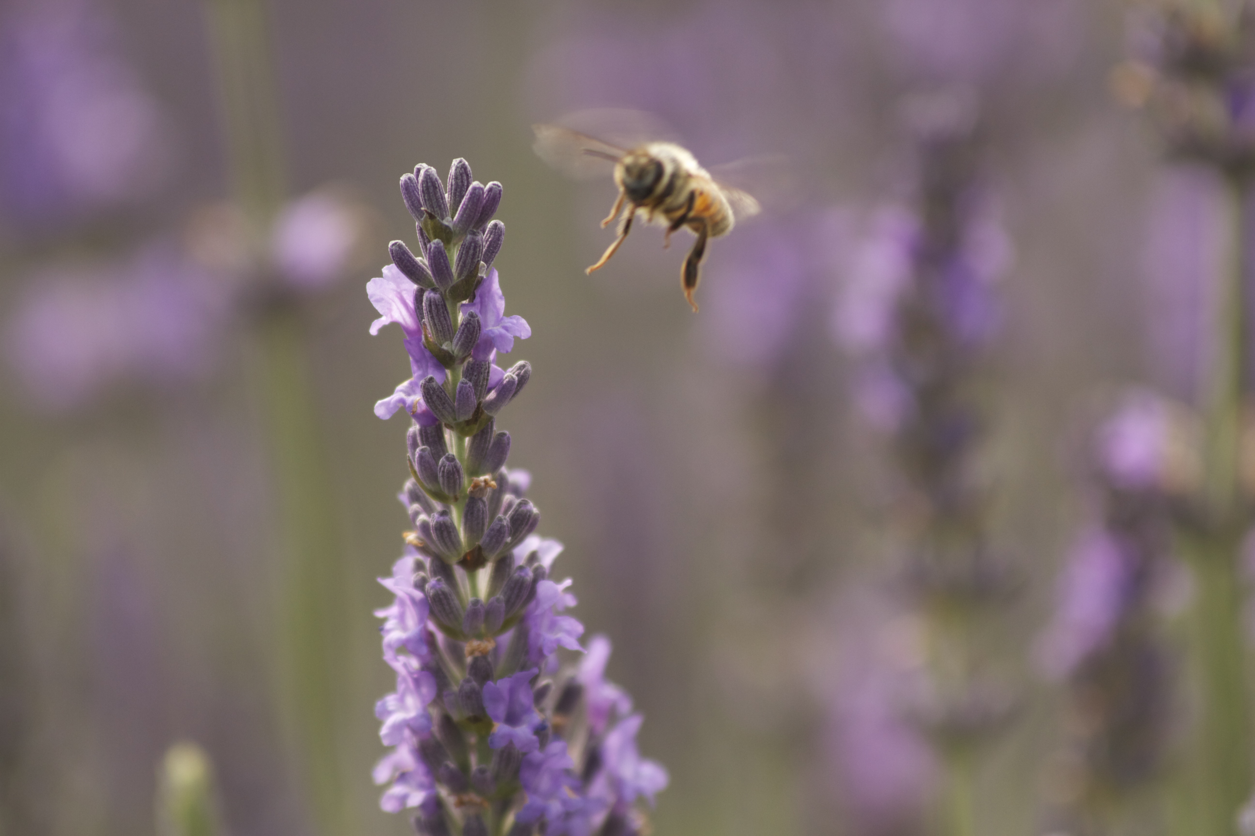 Bee in Lavender